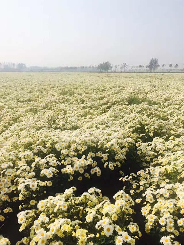 菊花种植基地