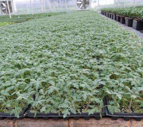 潍坊西红柿种子种苗