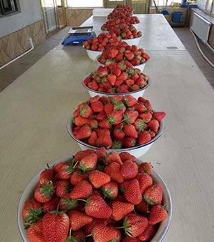 丹东九九草莓