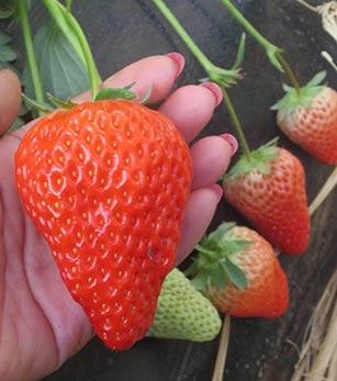 丹东久久草莓