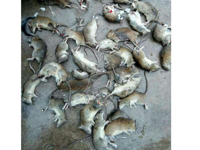石家莊專業除老鼠