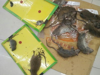 石家庄专业除鼠