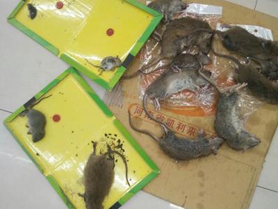 石家莊專業除鼠