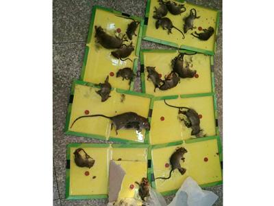 石家庄灭鼠企业