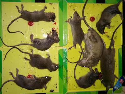 酒店滅老鼠