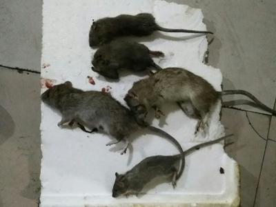 家庭滅老鼠