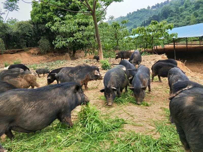 藏香猪价格