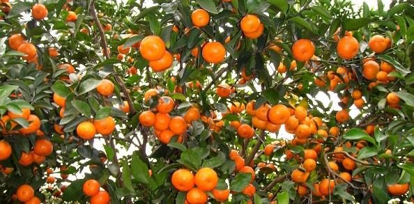 重庆砂糖橘种植