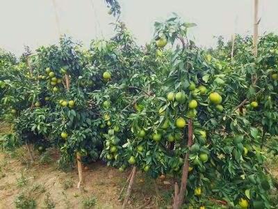 重庆柑橘苗种植
