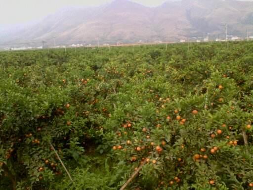 重庆打理柑橘园