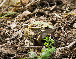 江西黑斑蛙养殖
