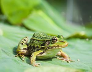 江西黑斑蛙