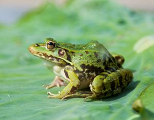 新余黑斑蛙