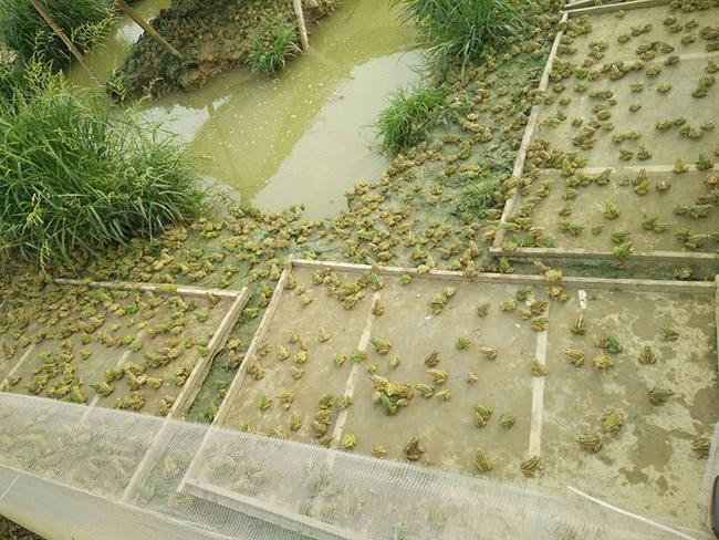 黑斑蛙养殖厂家