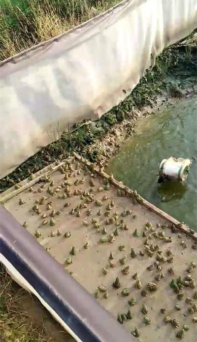 九江黑斑蛙苗