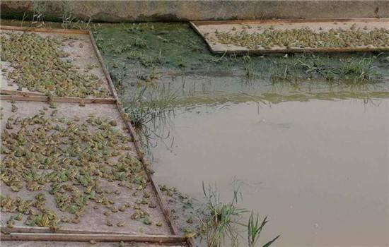 共青城黑斑蛙养殖