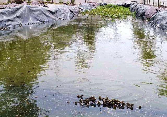 吉安黑斑蛙养殖