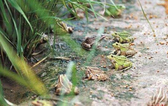 九江黑斑蛙养殖