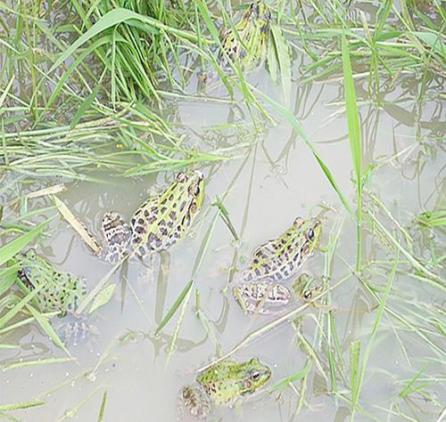新余黑斑蛙养殖