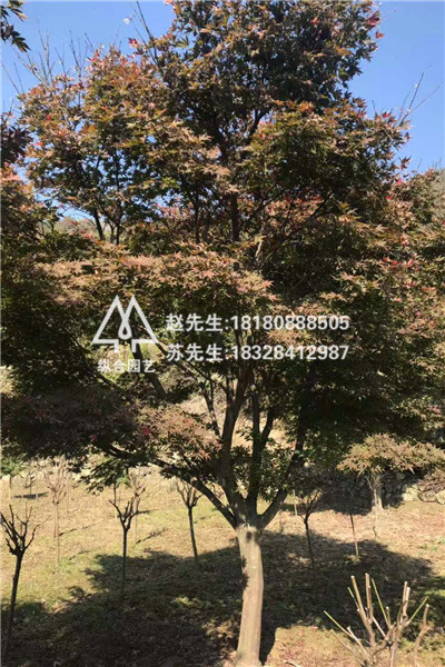 成都红枫树