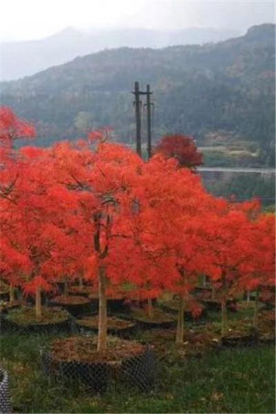 日本羽毛枫
