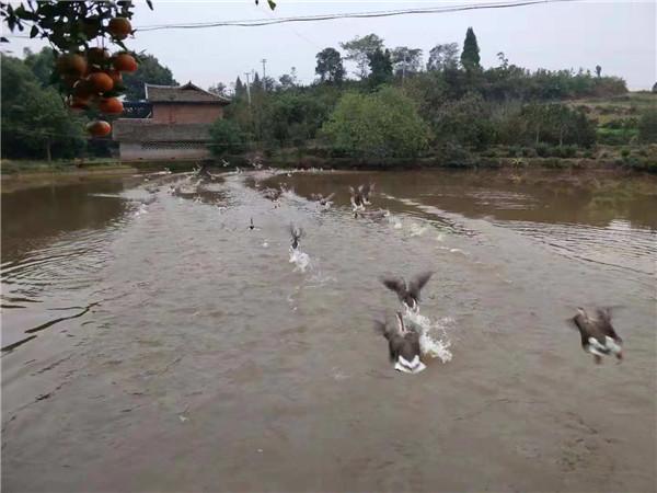 四川大雁养殖基地
