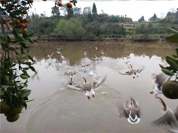 自贡养殖大雁
