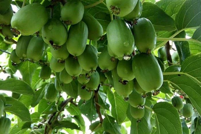 东北软枣猕猴桃
