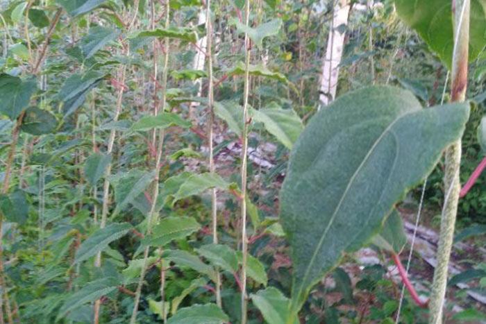 软枣猕猴桃价格