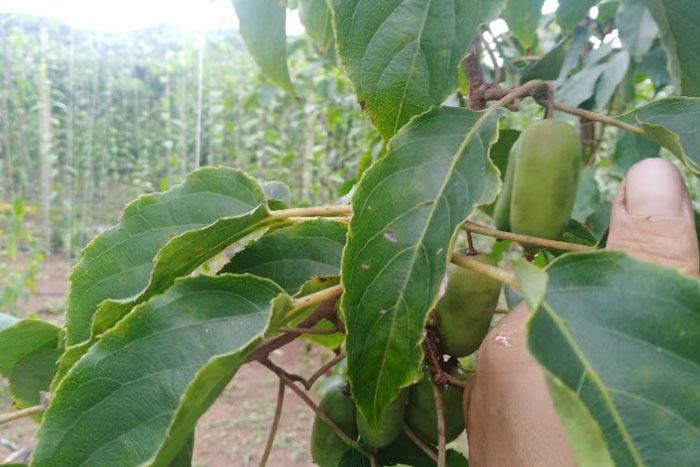 软枣猕猴桃苗价格