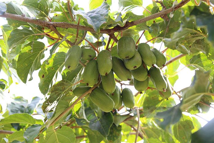 软枣猕猴桃批发