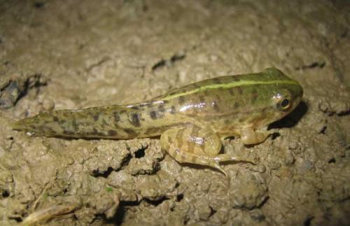 江西青蛙苗