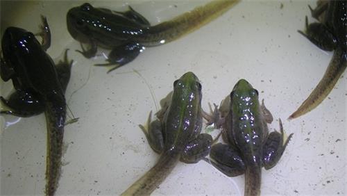 宜春青蛙苗