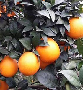 龙回红脐橙
