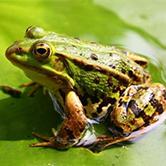 青蛙人工养殖