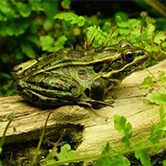 野生青蛙养殖