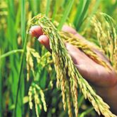 江西水稻种植