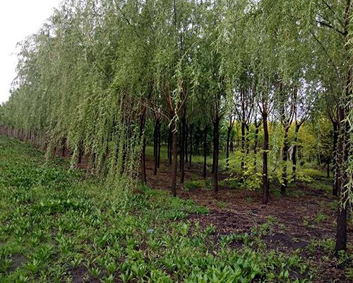 哈尔滨苗木基地