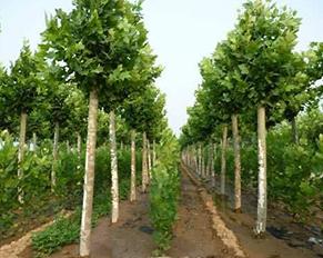 哈尔滨苗木基地——苗木养护