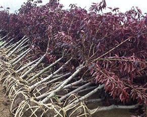 哈尔滨苗木基地——果树种植