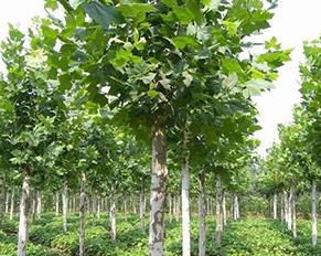 哈尔滨苗木基地——果树
