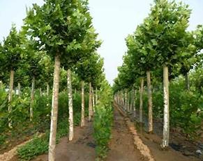 哈尔滨苗木基地――绿化公司