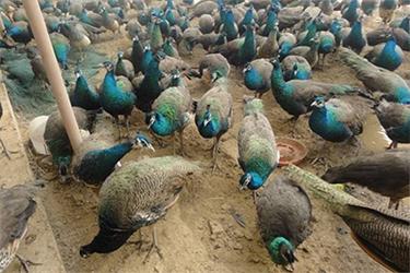 商品孔雀养殖