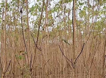 重阳木苗木