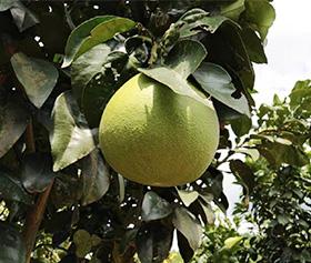 特种红心柚