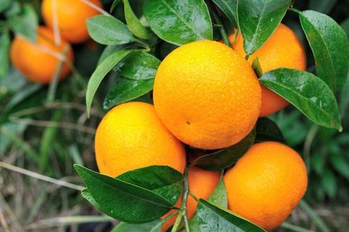 重庆柑橘苗栽培