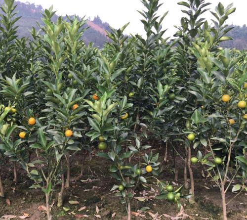 柑橘苗修剪