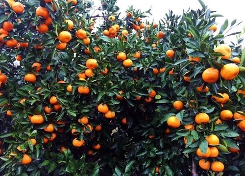 柑橘苗种植