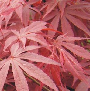 日本三季红枫季节