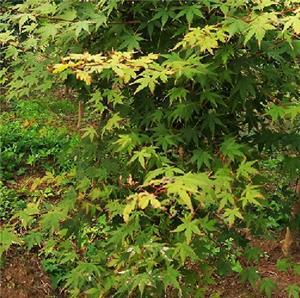 优质鸡爪槭